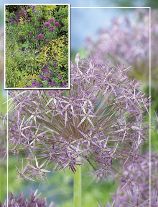 Syyskukkasipuli Tähtilaukka Allium Christophii 8 kpl