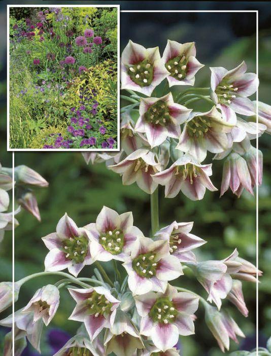 Syyskukkasipuli Hajulaukka Allium Nectaroscordum Siculum 15 kpl