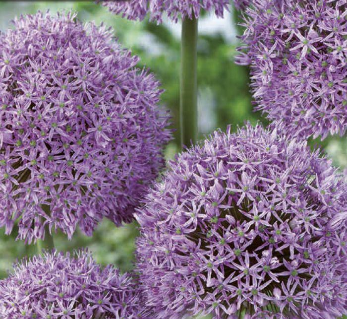 Syyskukkasipuli Laukka Allium Gladiator 1 kpl