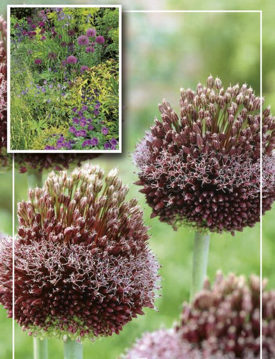 Syyskukkasipuli Laukka Allium Forelock 1 kpl