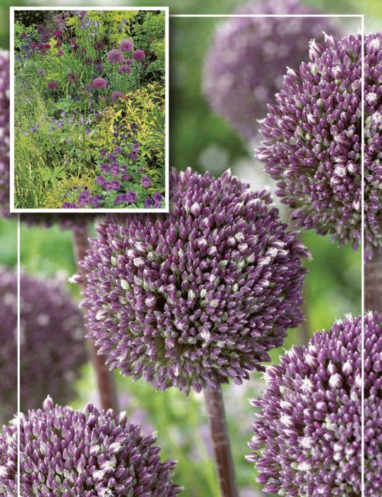 Syyskukkasipuli Laukka Allium Summer Drummer 3 kpl