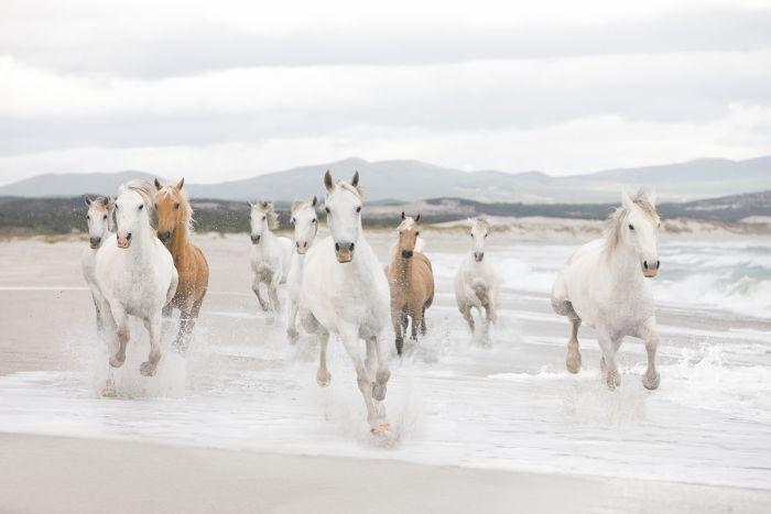 Fototapetti Komar White Horses