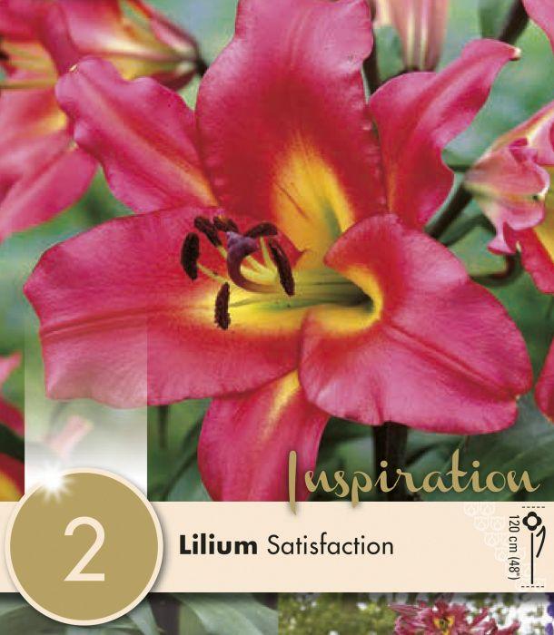 Kevätkukkasipuli Lilium Oriental Trumpet Satisfaction 2 kpl