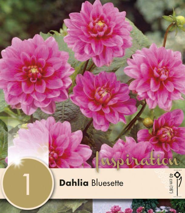 Kevätkukkasipuli Dahlia Bluesette 1 kpl
