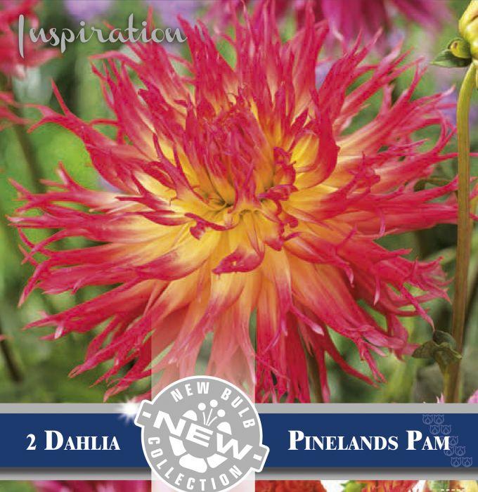 Kevätkukkasipuli Dahlia Decorative Pinelands Pam 2 kpl