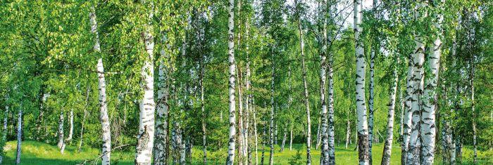 Välitilatarra Birch Grow 180 x 60 cm